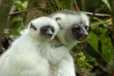 Silky sifakas (<em>Propithecus diadema candidus</em>) are critically endangered lemurs, which are primates found naturally only in Madagascar.