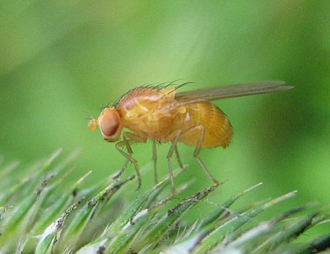 Studying this little fruit fly (<em>Drosophila melanogaster</em>) for the last century has allowed researchers to better understand genetics and developmental principles applicable to ourselves.