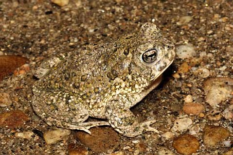 <em>Bufo californicus</em>