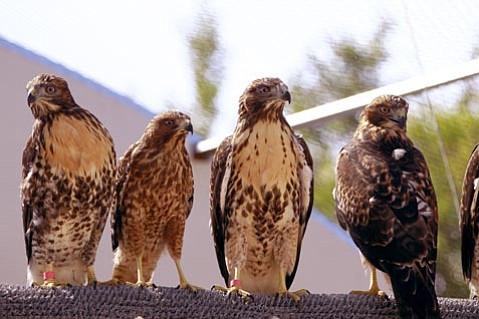 Ojai Raptor Center commemorates opening of new rehabilitation center for wild birds.