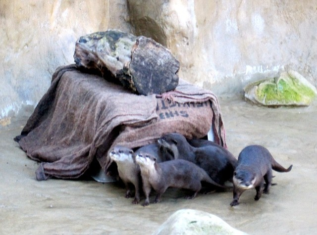 Santa Barbara Zoo's Asian Small-Clawed Otters take their first deep pool swim