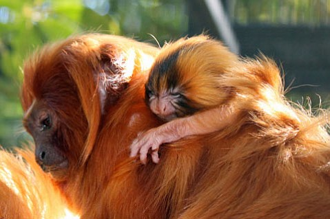 Tiny Golden Lion Tamarin Monkey