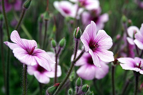 <em>Geranium maderense</em>