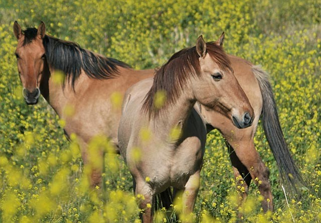 See and learn about wild horses during at this week's Return to Freedom Living