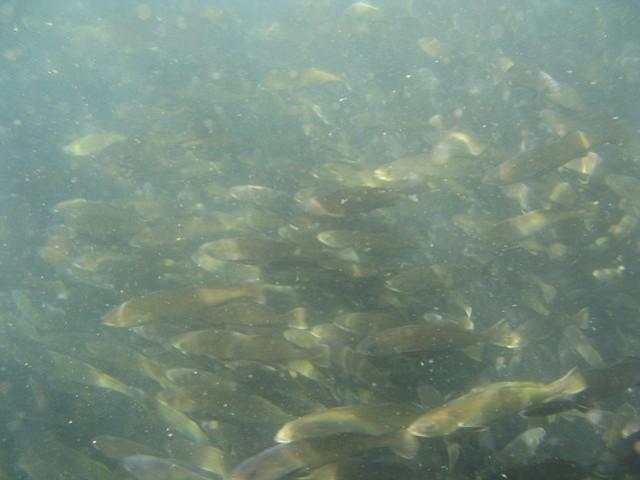 White seabass fingerlings arrive in Santa Barbara