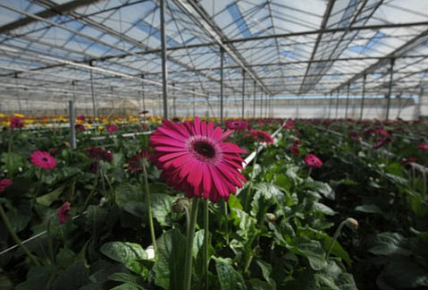 <strong>PERFUMED PRODUCT:</strong> Gerbra daisies, like the one growing here in a Carpinteria greenhouse, are one of the few remaining varieties that American farmers sell more of compared to their Colombian competition.