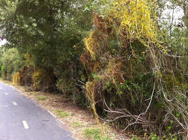 Japanese dodder infestation in Lompoc