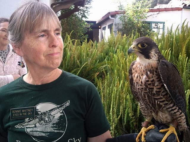 Bonnie Whitney holding a peregrine falcon.