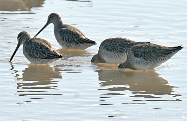 """<strong>ALL SYSTEMS GO:</strong>  """"This project is the victory lap,"""" said planner Andrew Bermond, of the return of tidal flow to the Goleta Slough around the Santa Barbara Airport, where species like the long-billed dowitcher (above) now visit. """"It's proof that the FAA is alright with wetland restoration and that it's feasible."""""""