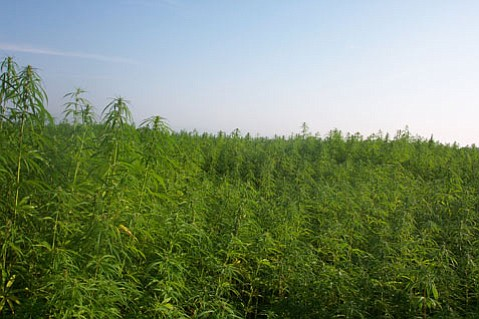 Cultivation of industrial hemp for fiber and for grain in France.