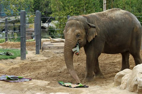 Asian elephant Sujatha chooses among several malted barleys for a signature beer, to be named Big Ear Beer, for the Santa Barbara Zoo's upcoming Zoo Brew fundraiser on June 2.