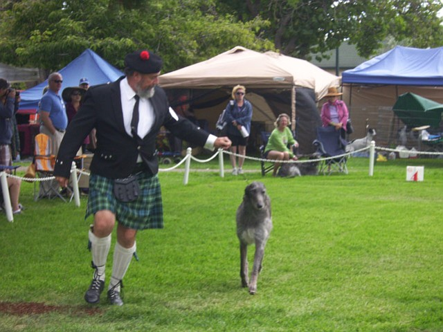Scottish Deerhound competition