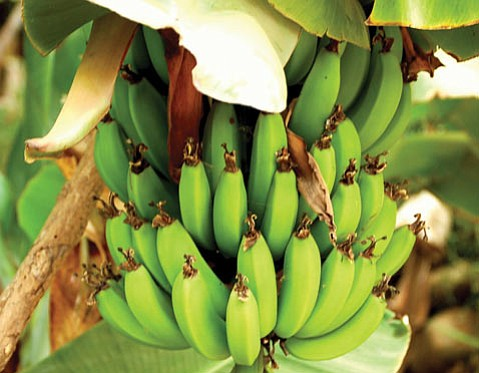 The fourth largest fruit crop in the world is the bright yellow banana, but there are many selections, many of which can grow and fruit successfully in our home gardens.