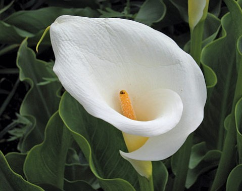 <i>Zantedeschia aethiopica</i>