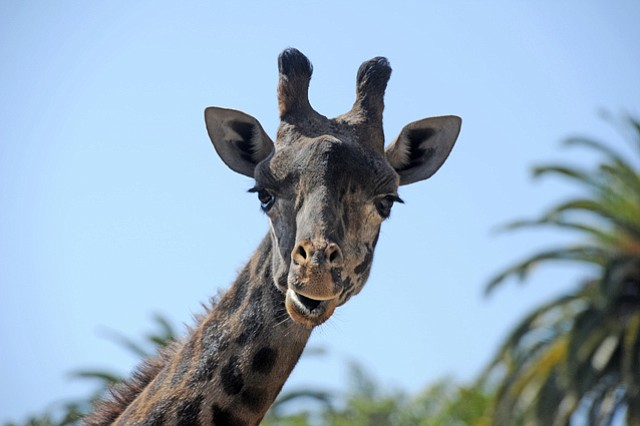 Betty-Lou, one of the Santa Barbara Zoo's three Masai giraffes