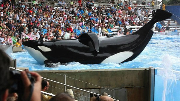 Tilikum in a scene from <em>Blackfish</em>, a Magnolia Pictures release.