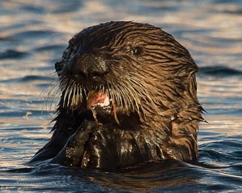 Image of: The Santa Barbara Independent Santa Barbara And The Sea Otter