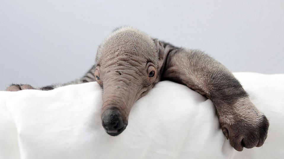 Giant anteater pup born at the Santa Barbara Zoo on March 1