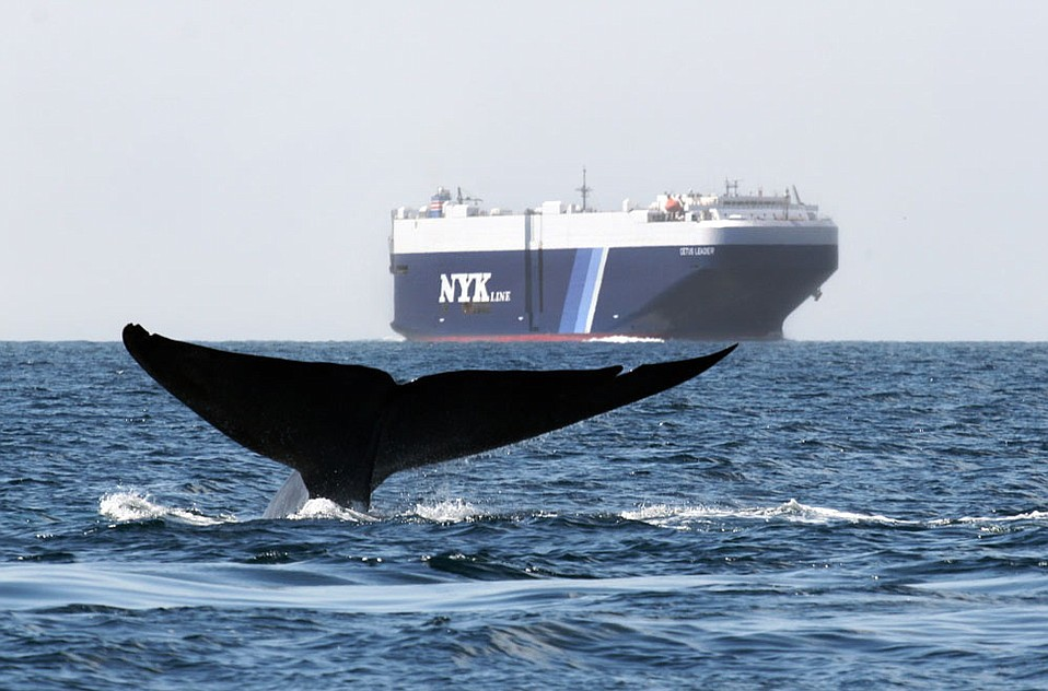 TROUBLE ON THE SEAS:  The blue whale's only natural predator is the orca, but cargo ships may be the larger threat.