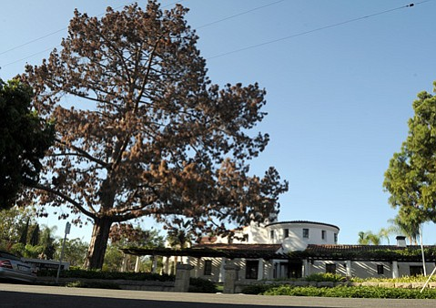 Braille Institute tree to be replaced with Torrey pine.