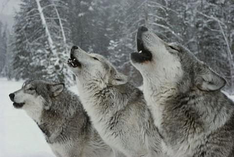 <em>The Hidden Life of Wolves</em>