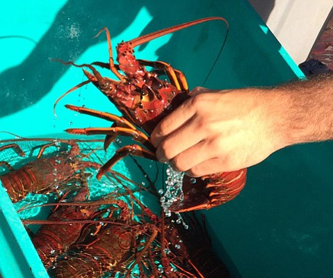 <b>STILL OKAY:</b>  While Santa Barbara lobsters, like the ones seen here, are fine to eat, their Ventura brethren have tested for dangerously high levels of domoic acid.