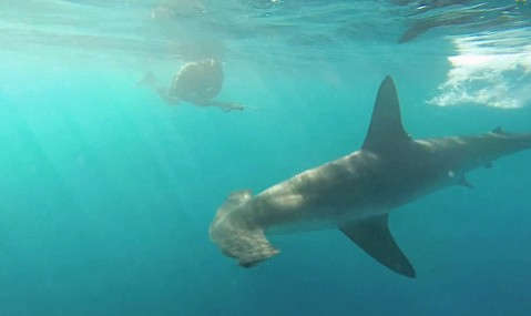 A hammerhead shark confronts divers off Anacapa Island.