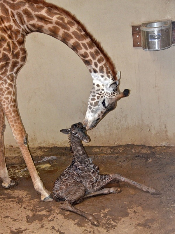 Baby giraffe Buttercup, born at the zoo on Thursday, and mother Audrey.