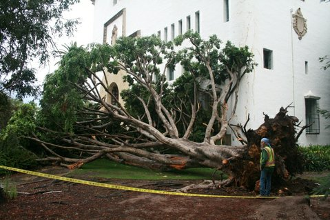 A fig tree fell at the courthouse during Tuesday night's rain storm