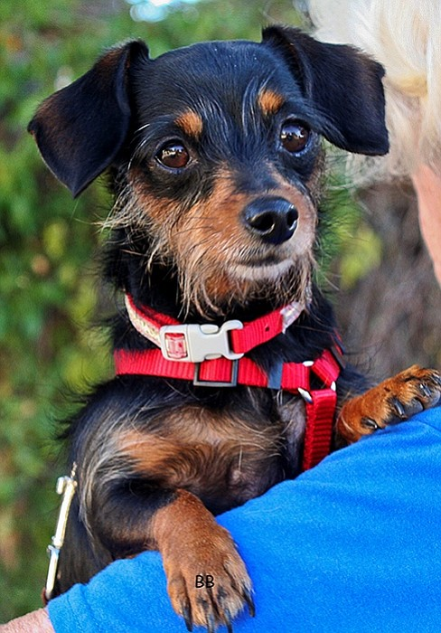 Colleen is a petite long-haired Dachshund mix, weighing only 7 lbs.