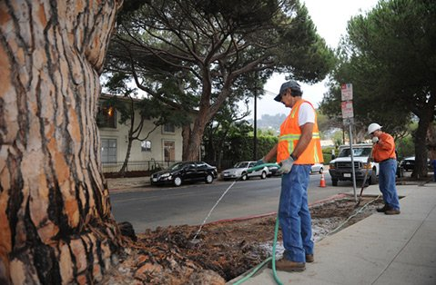 Ruben Flores (right) and arborist George Jimenez water the Italian stone pines