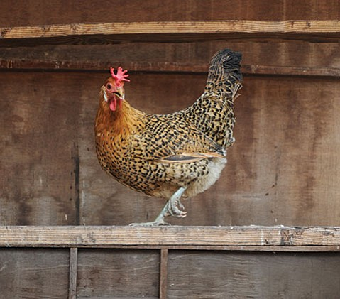 <b>FREE RANGE:</b>  A shop chicken struts its stuff at Island Seed and Feed.