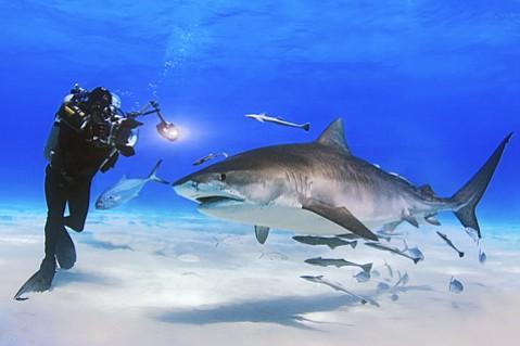 David Doubilet films a Tiger shark.