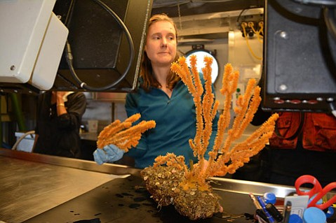 <b>BAG IT AND TAG IT:</b>  Claremont professor Branwen Williams will carbon date this coral and study its feeding habits.