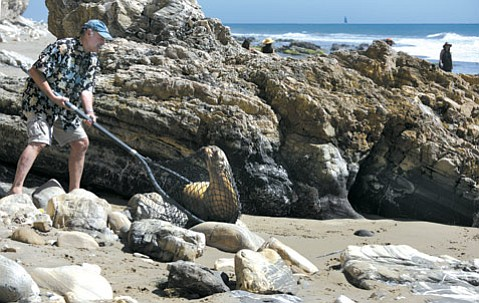 """<b>DON'T TRY THIS AT HOME:</b>  Peter Howorth used to trap sea lions for sale. Now he's trying to rescue them. After having caught """"tens of thousands,"""" he makes it look easy."""