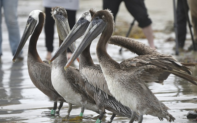 With plenty of media on-hand, pelicans, rescued and cleaned up following the Plains oil spill, were released  at Goleta Beach. (June 12, 2015)