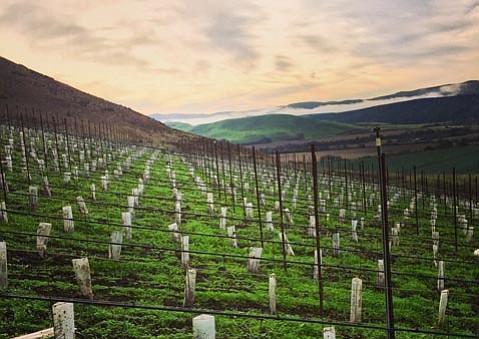 Black Sheep Finds Vineyard