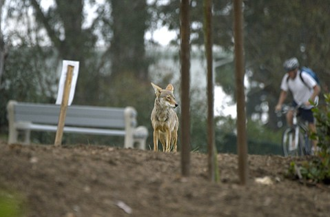 <b>NO FEAR:</b>  The coyote in La Mesa Park has grown accustomed to its human neighbors.