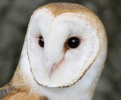 <strong>AMAZED BY OWLS:</strong>  Athena the barn owl is just one bird of prey to see this Sunday.