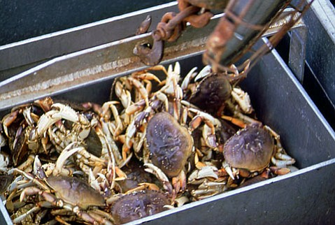 Domoic acid in rock and Dungeness crabs have hit harmful levels, making them off-limits for eating.