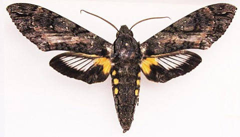 Native to Central and South America, the giant sphinx moth was spotted on Bath Street in late September.