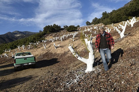 <strong>Clear-Cut:</strong>  Catherine Epperson of Parks Land & Cattle Co. walks by water-starved avocado trees that have been stumped and painted white to protect them from sunburn.