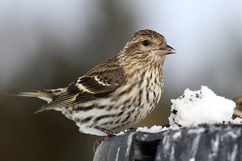 The pine siskin, a small forest bird, is being found dead of salmonellosis. Residents are asked to report dead birds to state Fish and Wildlife.