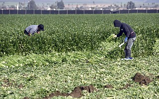 <strong>TOUGH ROW: </strong> Santa Maria field workers harvest celery.