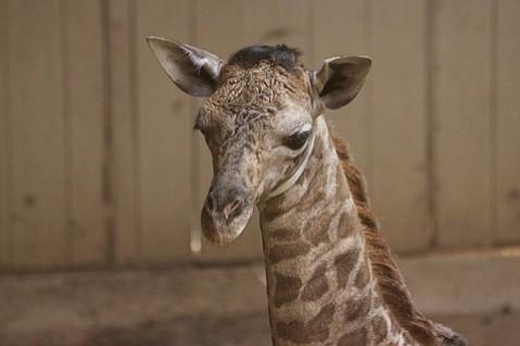 A baby giraffe named Chad was born to Audrey Saturday at the Santa Barbara Zoo.