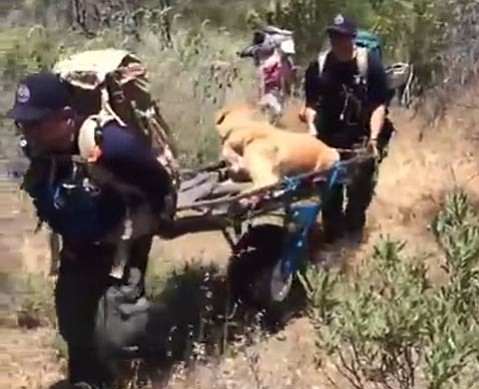 An injured yellow Labrador Retriever named Rex was rescued Monday from the San Rafael Wilderness.
