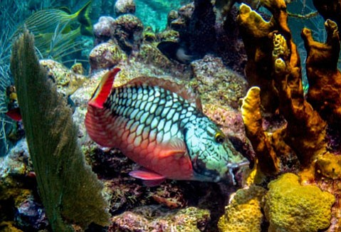 Janitors of the reef, parrotfish remove algae while causing no permanent damage to corals.