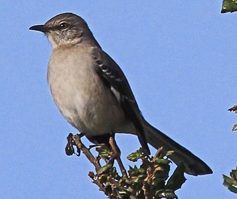 Backyard Wildlife Mockingbirds