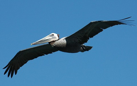 Observed changes in the brown pelican population prompted a first-ever citizen survey of the bird's numbers.