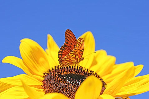 Gulf fritillary on sunflower